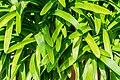 Agapanthus africanus in Botanischer Garten Muenster (2).jpg