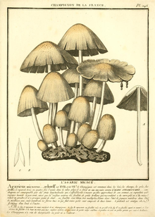 Illustration of several light brown mushrooms of various sizes.