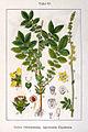 Agrimonia eupatoria Sturm08057.jpg