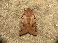 Agrochola litura (9643694556).jpg