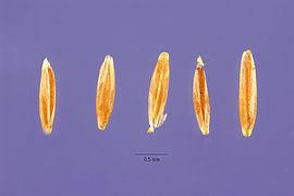 Agrostis vinealis seeds.jpg