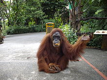 AhMeng,Singapores oldest Orangutan 47 yrs old on her walks.JPG