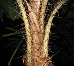 A short section of the stem of a palm showing leaf bases and petioles densely covered with long spines.