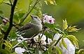 Ak mukallit - Iduna pallida - Eastern Olivaceous Warbler, Adana, Turkey 01.jpg