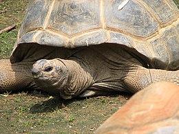 Aldabra Tortoise 002.jpg Imagem