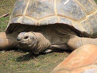Aldabra - Aldabra giant tortoise