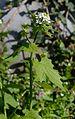 Alliaria petiolata3.JPG