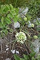 Allium albidum 06.jpg