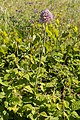 Allium ampeloprasum-Poireau des vignes-20150527.jpg