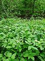 Allium paradoxum in Prachatice CZ (01).jpg