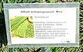 Allium schoenoprasum Miro.jpg