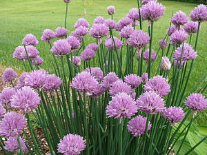 Chives - A clump of flowering chives