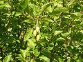 Alnus viridis (4996706091).jpg