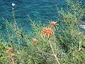 Aloe maculata Corsica.jpg