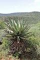 Aloe marlothii (Asphodelaceae-Xanthorrhoeaceae) (26954820290).jpg