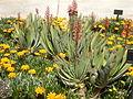Aloe plicatilis 4c.JPG