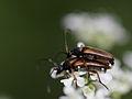 Alosterna tabacicolor (Cerambycidae Lepturinae) (10491594533).jpg