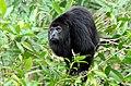 Alouatta pigra Belize Zoo 2.jpg