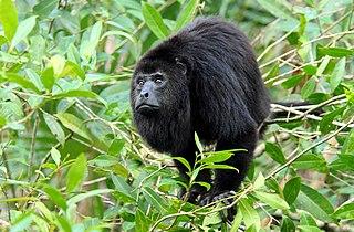 Guatemalan black howler species of mammal