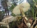 Amanita phalloides 88334562.jpg