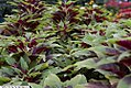Amaranthus tricolor 4zz.jpg
