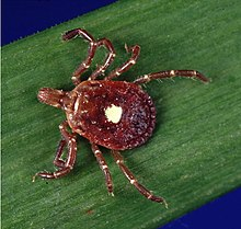 A photograph of a red, eight-legged, oval-shaped organism with a white spot on its back standing on a green strip with a blue background