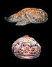 Ambophthalmos angustus.jpg