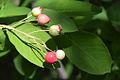 Amelanchier canadensis berry.jpg
