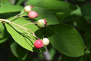 Amelanchier canadensis - Image: Amelanchier canadensis berry