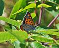 American Copper (Lycaena phlaeas) (7476515126).jpg