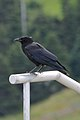 American Crow (Corvus brachyrhynchos) - Logy Bay-Middle Cove-Outer Cove, Newfoundland 2019-08-11 (01).jpg