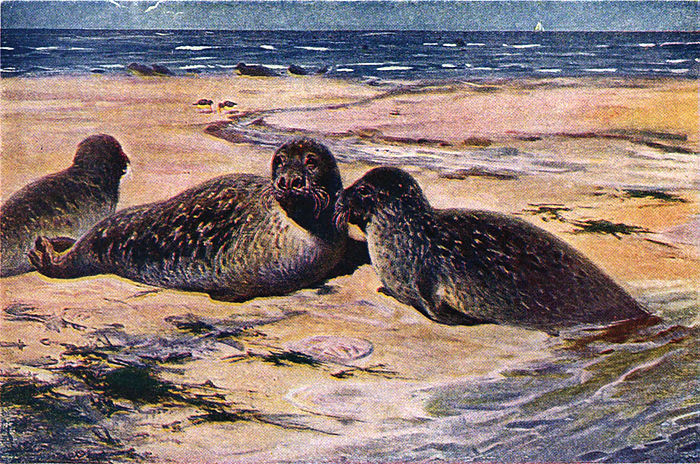 Americana 1920 Seals and Sealing - harbor seal.jpg