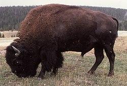 definition of bison
