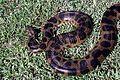 Anaconda manchada.jpg