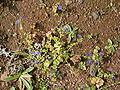 Anagallis arvensis (Puntallana) 02 ies.jpg