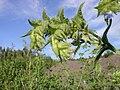 Anchusa arvensis inflorescence 1 AB.jpg