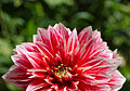And some dahlias too (7777962758).jpg