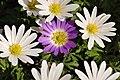 Anemone blanda purple white 2010-04-24.jpg