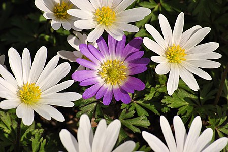 A composition of white and purple Anemone blanda taken by a beautyful day.