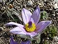 Anemone slavica (Ranunculaceae) flower.jpg