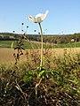Anemone sylvestris sl30.jpg