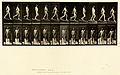 Animal locomotion. Plate 113 (Boston Public Library).jpg