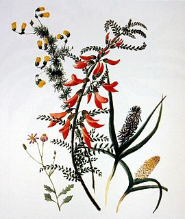 South African botanical illustrator