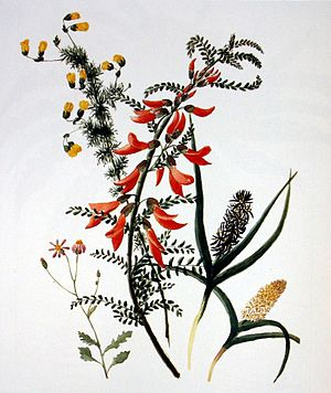 Anna Maria Truter - Sutherlandia frutescens, 2 species of Wurmbea, Hermannia pinnata and a small Senecio, c. 1800, pencil and watercolour