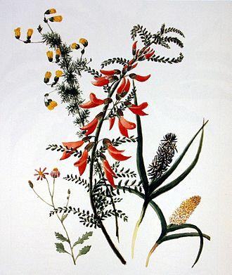 Anna Maria Truter - Sutherlandia frutescens, 2 species of Wurmbea, Hermannia pinnata and a small Senecio, c. 1800, pencil and watercolour