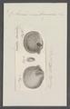 Anomia membranacea - - Print - Iconographia Zoologica - Special Collections University of Amsterdam - UBAINV0274 074 06 0007.tif