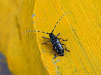 Longhorn beetle - ''Anoplophora chinensis''