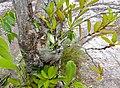 Ant Plant (Hydnophytum formicarum) (15742089546).jpg
