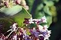 Ant Pollinating Common Milkweed (34634559633).jpg