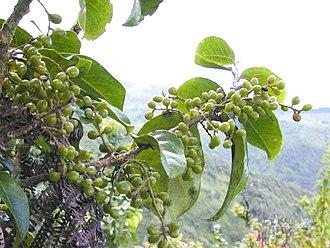 Antidesma - Hame (A. platyphyllum) - unripe fruit